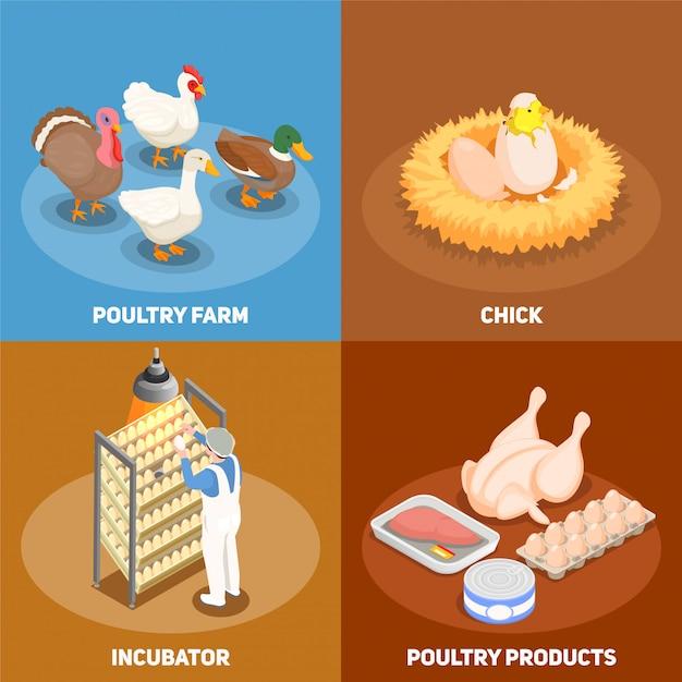 巣の養鶏場のインキュベーターと家禽製品の正方形のアイコン等尺性のひよこの家禽のコンセプトセット 無料ベクター