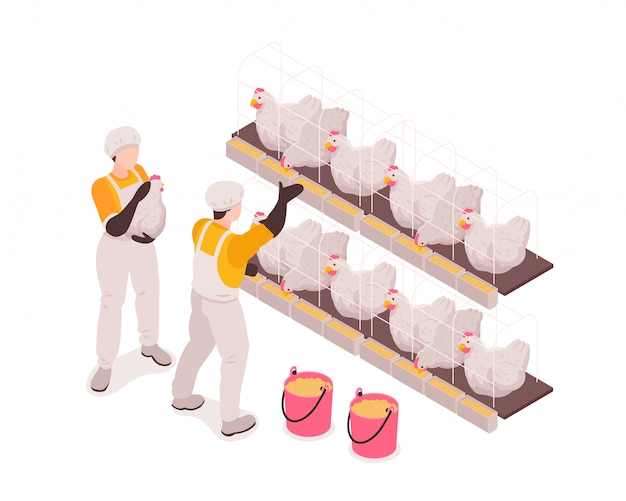 Poultry farm production workers in chicken stable checking and feeding birds collecting eggs isometric composition Free Vector