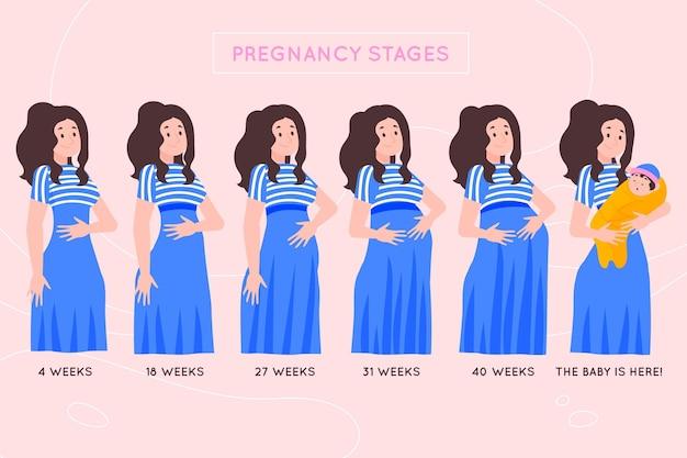 妊娠段階図解の概念 無料ベクター
