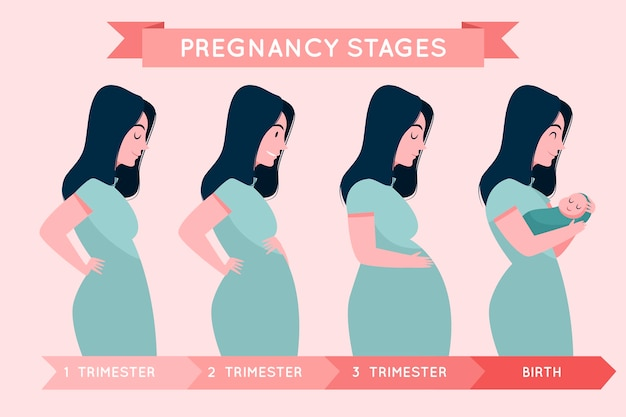 Pregnancy stages illustration Free Vector