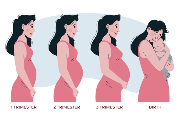 Pregnancy stages Free Vector