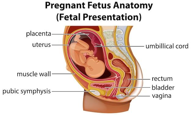 Pregnant fetus anatomy diagram Free Vector