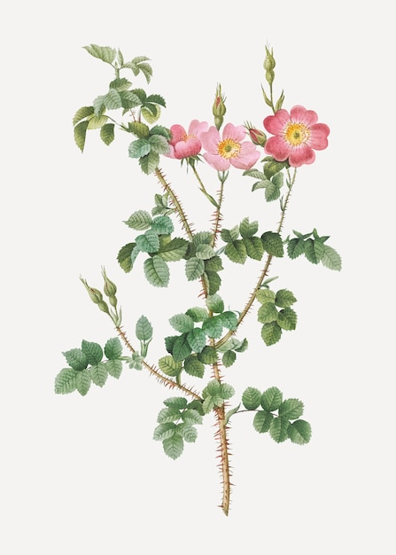 Prickly sweet briar roses Free Vector