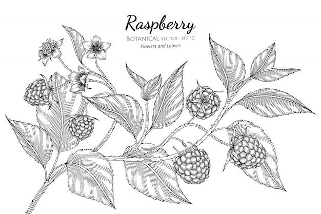 라즈베리 손으로 화이트 라인 아트와 식물 그림을 그려. 프리미엄 벡터