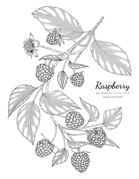 Raspberry hand drawn botanical illustration with line art on white backgrounds. Premium Vector