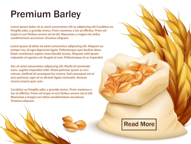 Realistic barley, ears and grains isolated on white Premium Vector