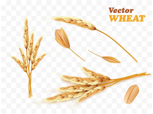 Realistic bunch of wheat ears and seed isolated on a white. Premium Vector