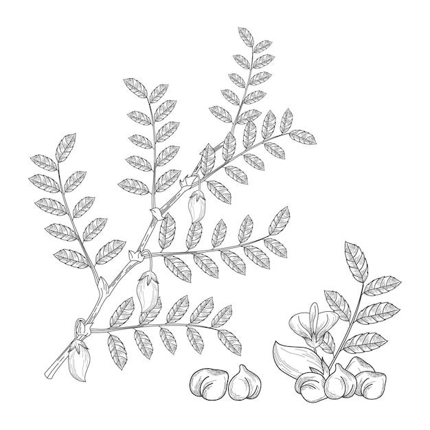 Fagioli di ceci realistici con la pianta Vettore gratuito