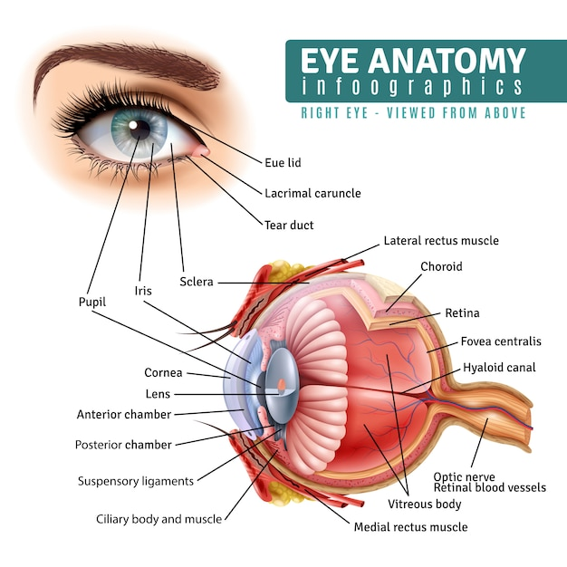 Realistic eye anatomy infographics Free Vector