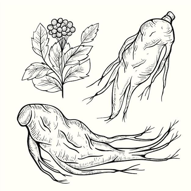 リアルな高麗人参植物コレクション 無料ベクター