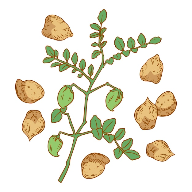 Realistic hand-drawn chickpea beans and plant illustration Free Vector