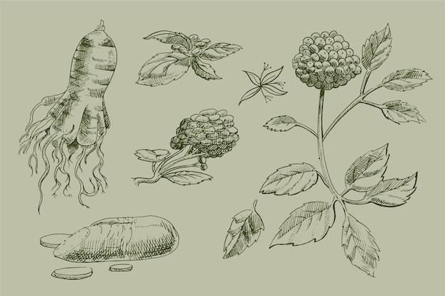 リアルな手描きの高麗人参植物コレクション 無料ベクター