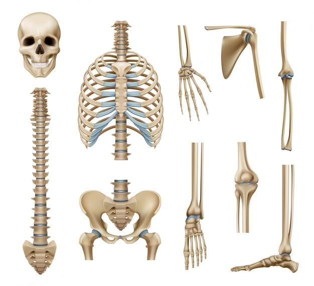 Realistic human skeleton parts set Free Vector