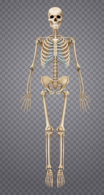 Реалистичный человеческий скелет Бесплатные векторы