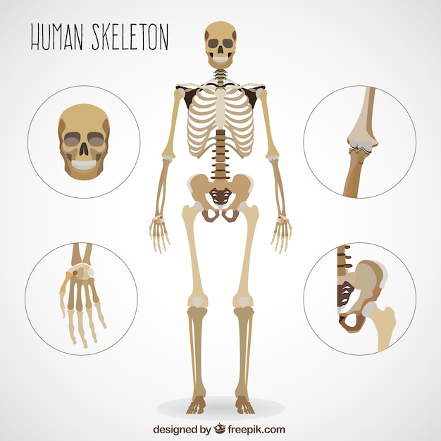 realistic human skeleton vector | premium download, Skeleton