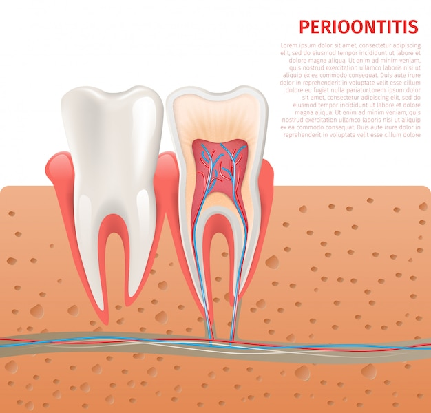 Realistic illustration tooth anatomy in 3d vector Premium Vector