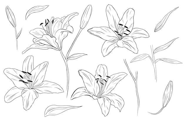 현실적인 백합. 꽃, 잎 및 가지. 손으로 그린 그림. 단색 흑백 잉크 스케치. 라인 아트. 흰색 배경에 고립. 색칠 페이지. 프리미엄 벡터