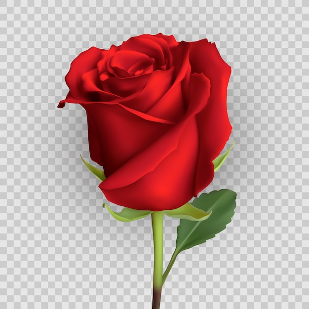 Realistic rose design isolated on background, Premium Vector