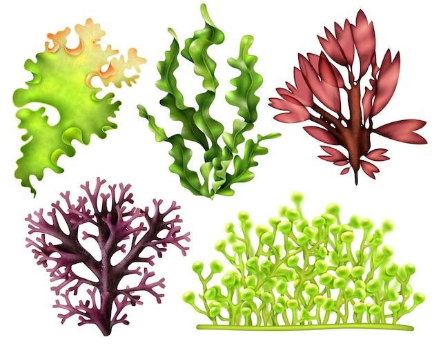 Realistic sea weeds food set Free Vector