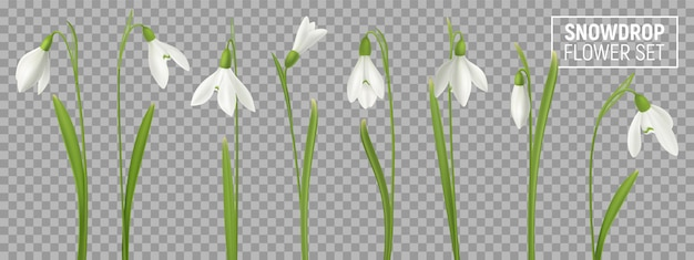 Realistic snowdrop flower set on transparent background with isolated realistic images of natural flowerage with stems  illustration Free Vector