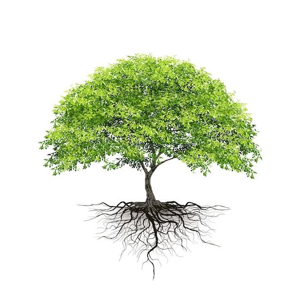 Cây xanh với bộ rễ chụp trên nền trắng