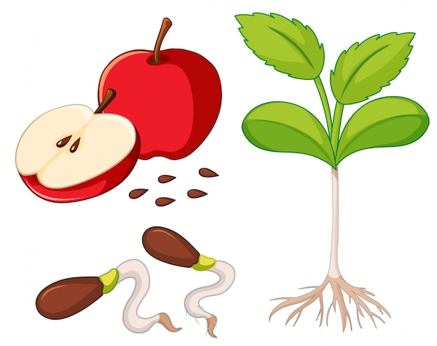 Red apple with seeds and young tree Premium Vector
