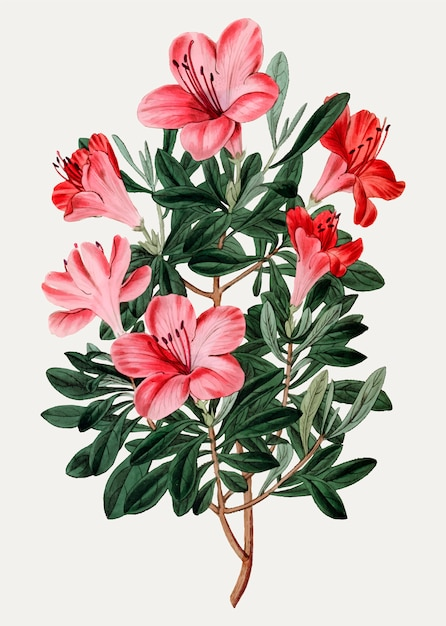 Red chinese azalea Free Vector