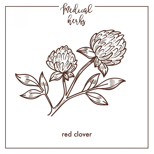 Red clover medical herb sketch botanical vector icon for medicinal herbal phytotherapy design Premium Vector
