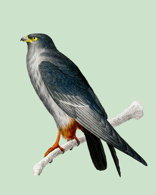 Red-footed falcon (falco rufipes) illustrated by charles dessalines d'orbigny (1806-1876). Free Vector