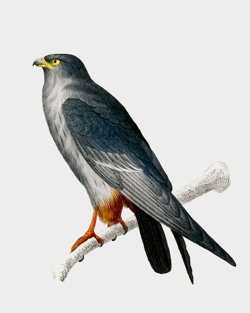 Red-footed falcon Free Vector