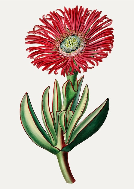 Red marigold Free Vector