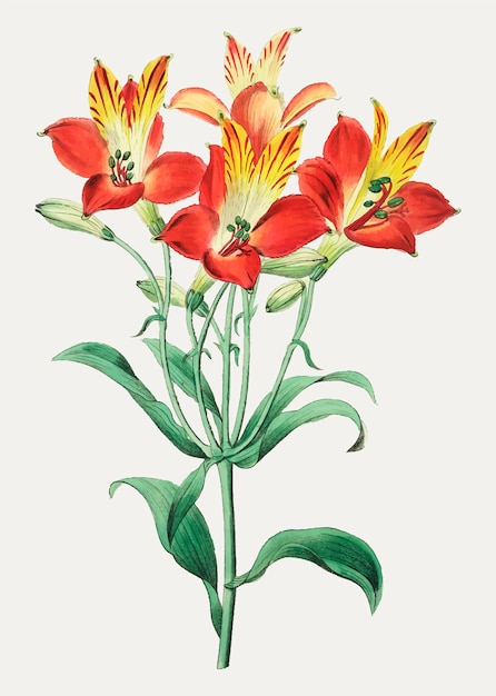 Red peruvian lily Free Vector
