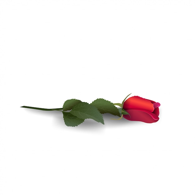 Red rose isolated on white background Premium Vector