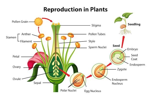 식물 다이어그램에서 번식 무료 벡터