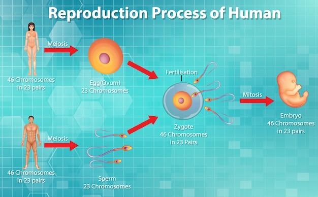 Processo riproduttivo umano Vettore gratuito