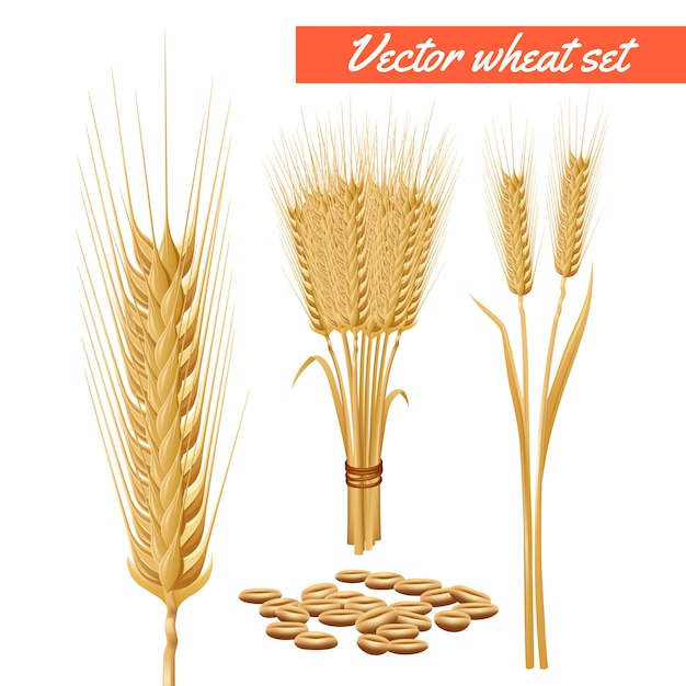 Ripe wheat plant harvested heads and grain decorative and health benefits advertizing poster Free Vector
