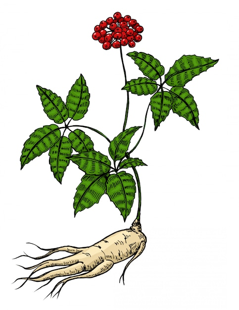 高麗人参の根と葉。伝統医学の薬用植物の黒いイラストを彫刻します。白い背景の上。手描きの要素。カラースケッチ。 Premiumベクター