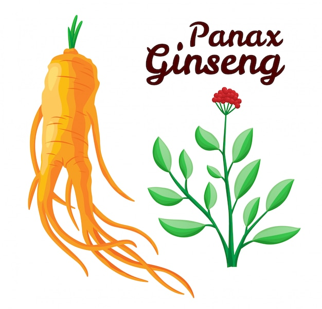 Root and leaves panax ginseng. healthy lifestyle. for traditional ...