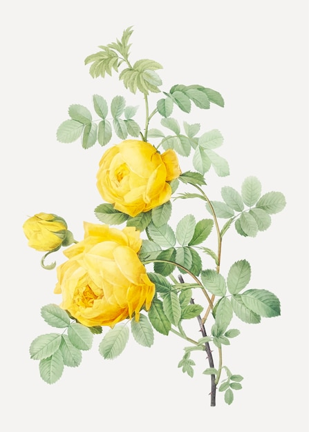 Rosa hemisphaerica, also known as yellow rose of sulfur (rosa sulfurea) from les roses (1817–1824) Free Vector