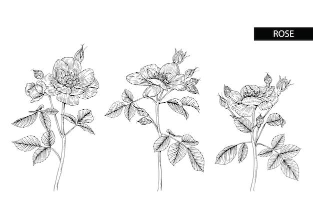 Line Drawing Of Rose Plant : Rose flower drawings vector premium download