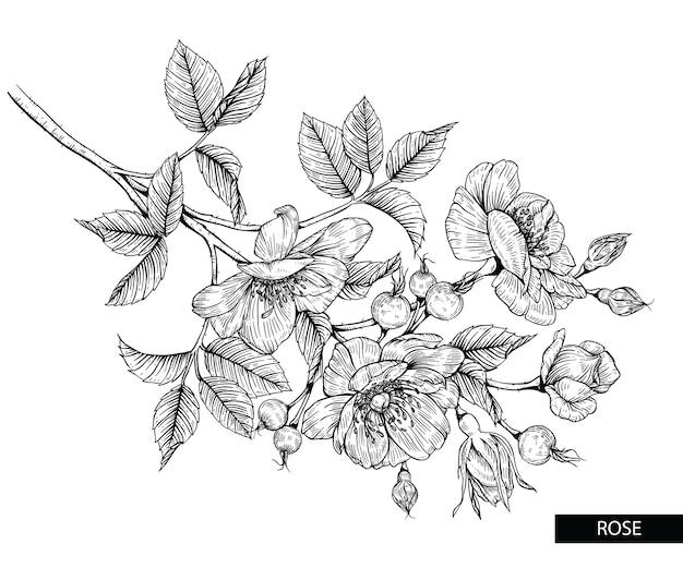 Rose flower drawings. Premium Vector
