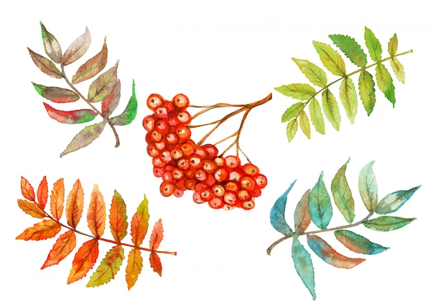 Rowan berry and rowan leaves watercolor set. Premium Vector