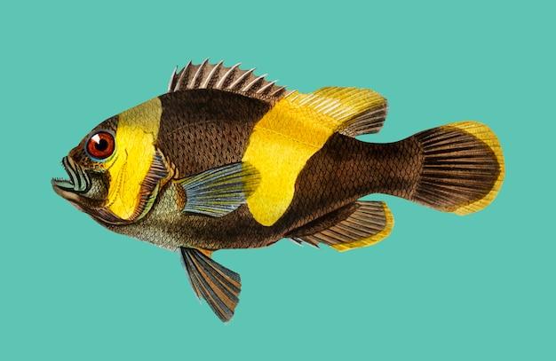 Saddleback clownfish (amphipiron bifasciatus) illustrated by charles dessalines d'orbigny Free Vector