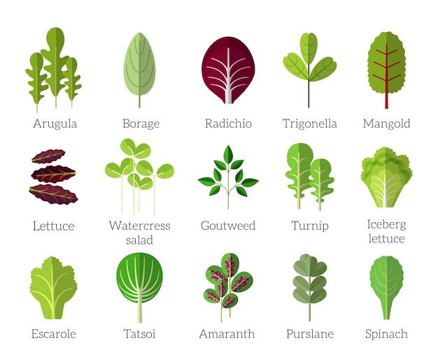 샐러드 재료. 잎이 많은 채소 평면 아이콘을 설정합니다. 유기농 및 채식, 보리 지 및 라디 치오, 트리고 넬라 및 만 골드 무료 벡터