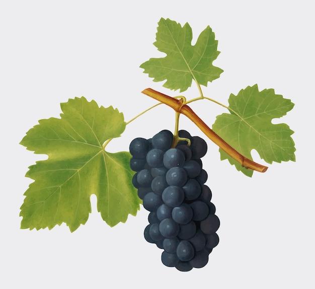 Сан-коломбано из виноградника pomona italiana Бесплатные векторы