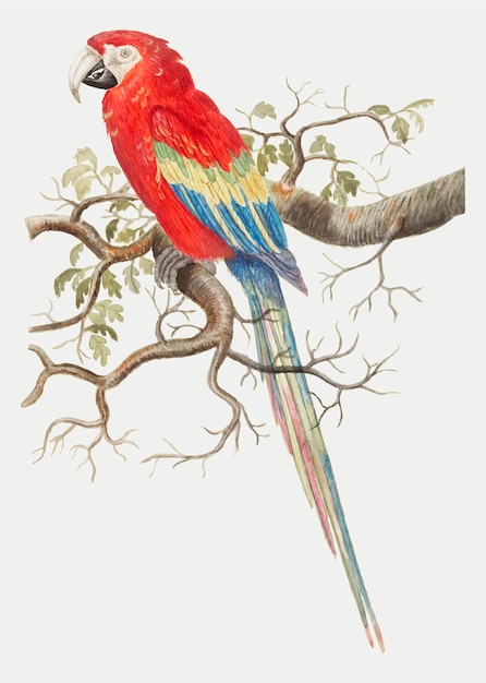 Scarlet macaw in vintage style Free Vector