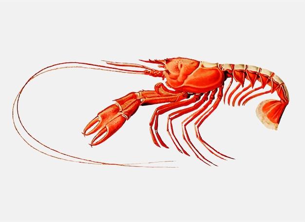 Scarlett clawed lobster Free Vector