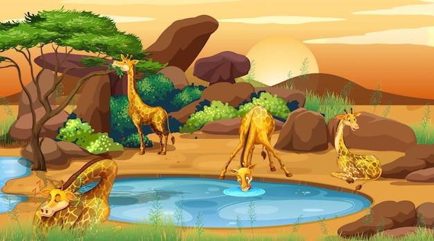 Scene with giraffes drinking water Premium Vector