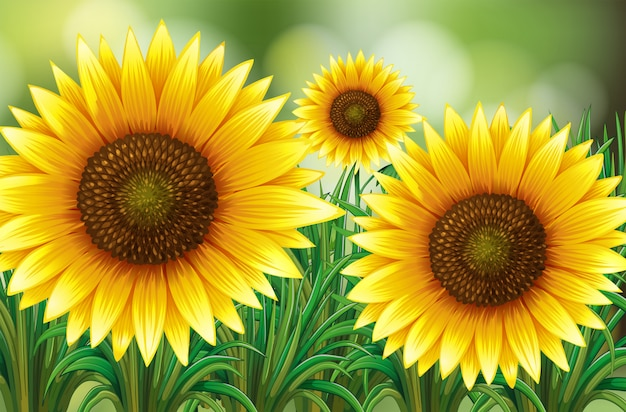 Scene with sunflowers in garden Premium Vector