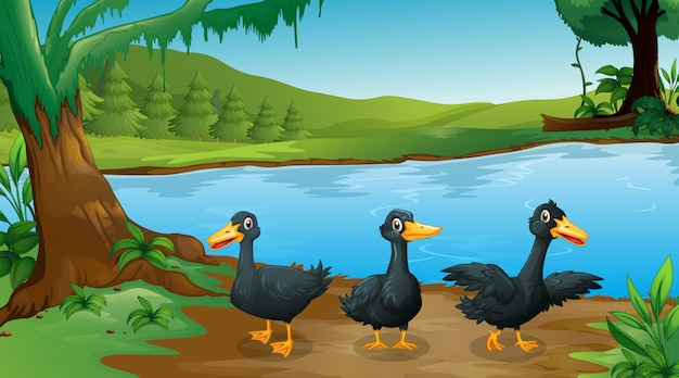 Scene with three black ducks by the river Free Vector